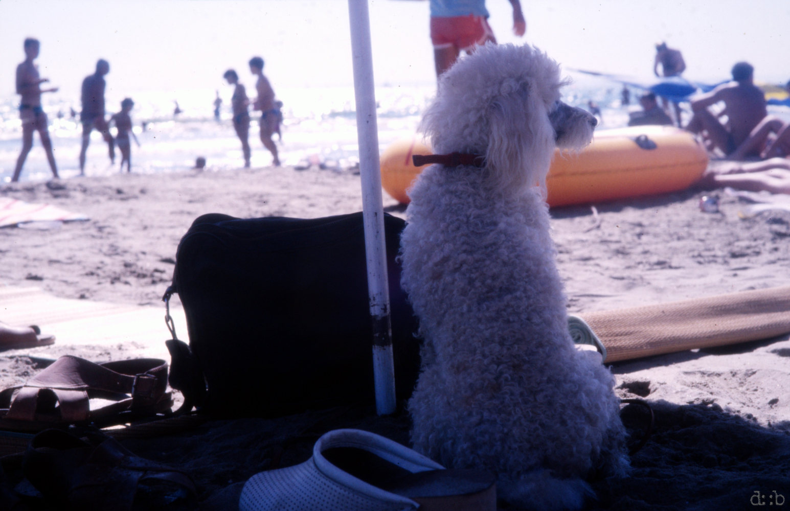 A poodle sitting under a sunscreen watching people on the beach.