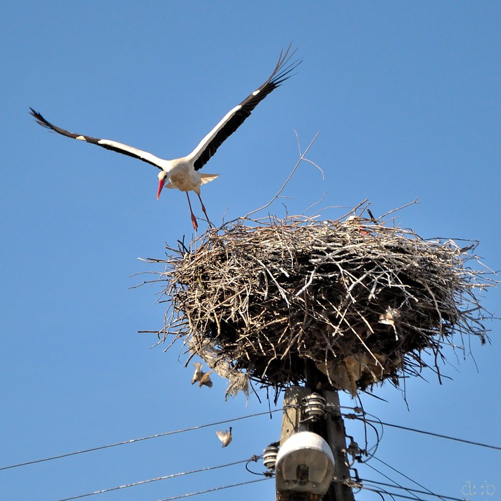 A stork while flying up from his nest.
