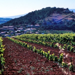 A grape vine yard in the Luberon region in southern France, 1988.