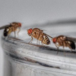 Close-focus shot of a Drosophila Melanogaster clan.