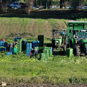 City cabbage harvest in Düsseldorf Hamm.