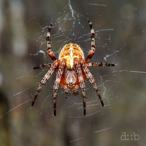 A male araneus sitting in his web.