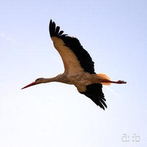 A stork flying through the air.