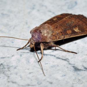 Some grown-up moth, close-focus.