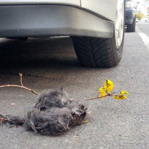 A dead dove lying right in front of an automobile wheel.