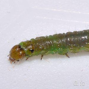A green caterpillar, close-focus.